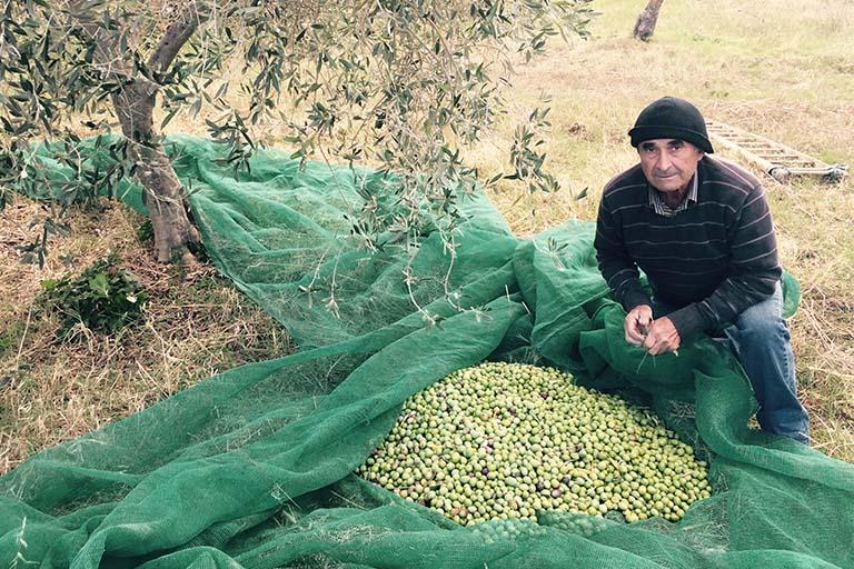 racolta olive olio extravergine sanfilippo