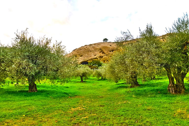 ulivi sanfilippo olio extravergine